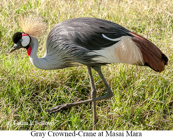 Gray Crowned-Crane - © Laura L Fellows and Exotic Birding Tours