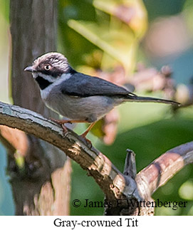 Gray-crowned Tit - © James F Wittenberger and Exotic Birding Tours