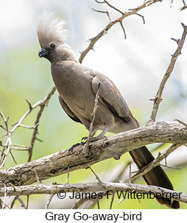 Gray Go-away-bird - © James F Wittenberger and Exotic Birding LLC