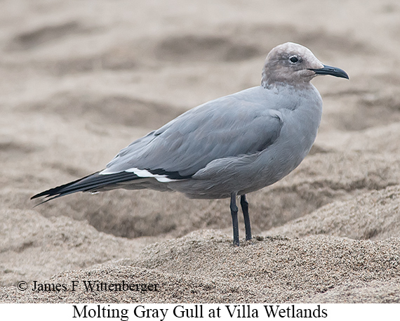 Gray Gull - © James F Wittenberger and Exotic Birding Tours