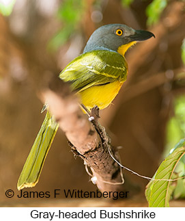Gray-headed Bushshrike - © James F Wittenberger and Exotic Birding LLC
