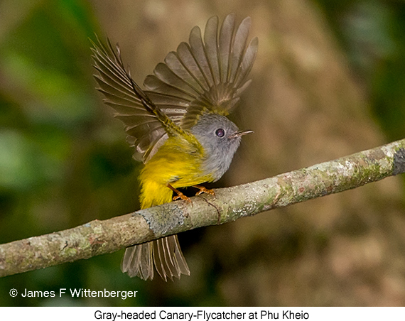Gray-headed Canary-Flycatcher - © James F Wittenberger and Exotic Birding Tours