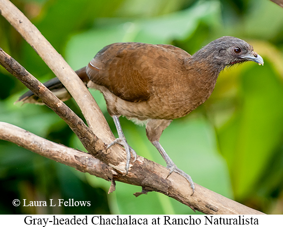 Gray-headed Chachalaca - © Laura L Fellows and Exotic Birding Tours