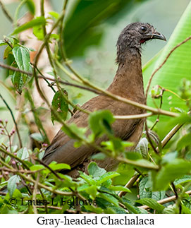 Gray-headed Chachalaca - © Laura L Fellows and Exotic Birding LLC