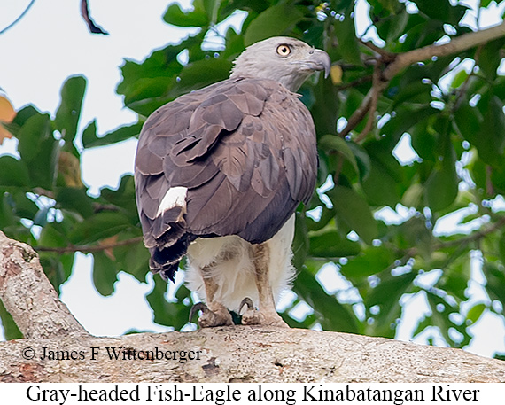Gray-headed Fish-Eagle - © James F Wittenberger and Exotic Birding Tours
