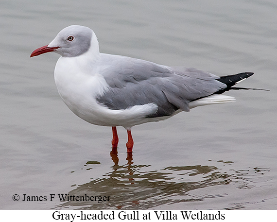 Gray-hooded Gull - © James F Wittenberger and Exotic Birding Tours