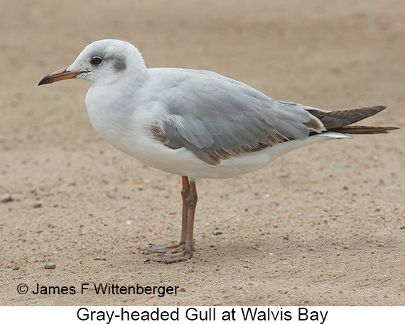 Gray-hooded Gull - © The Photographer and Exotic Birding LLC