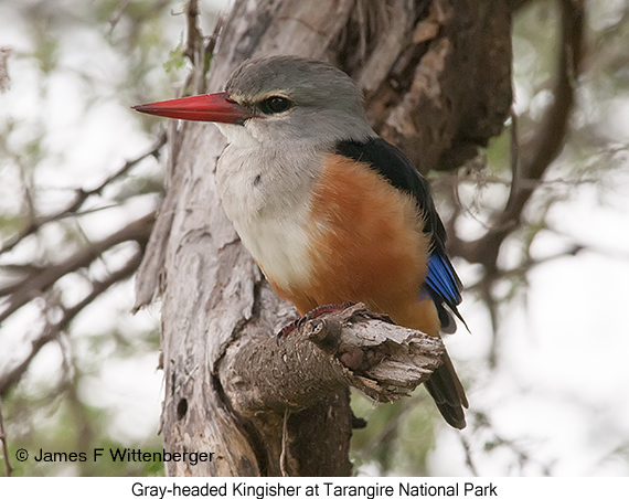 Gray-headed Kingfisher - © The Photographer and Exotic Birding LLC