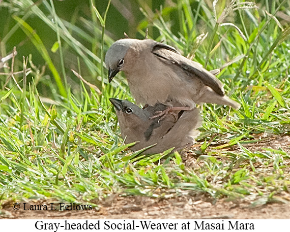 Gray-headed Social-Weaver - © Laura L Fellows and Exotic Birding Tours