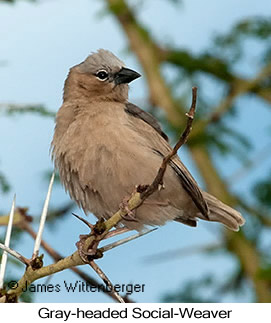 Gray-headed Social-Weaver - © James F Wittenberger and Exotic Birding Tours