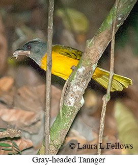 Gray-headed Tanager - © Laura L Fellows and Exotic Birding Tours