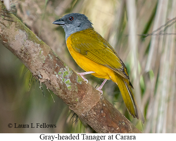 Gray-headed Tanager - © Laura L Fellows and Exotic Birding LLC