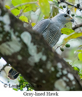 Gray-lined Hawk - © Laura L Fellows and Exotic Birding LLC