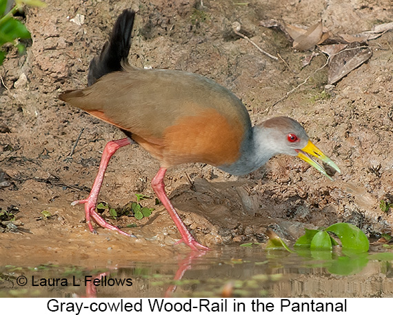 Gray-necked Wood Rail - © Laura L Fellows and Exotic Birding LLC