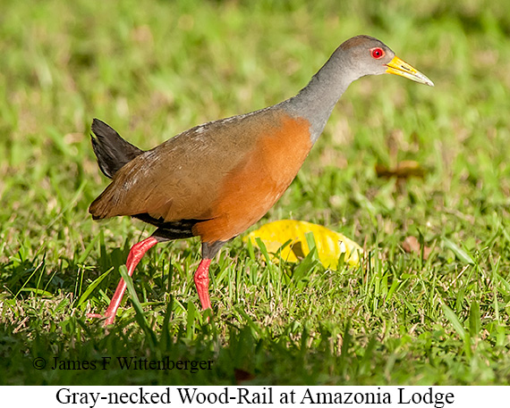 Gray-necked Wood Rail - © James F Wittenberger and Exotic Birding Tours