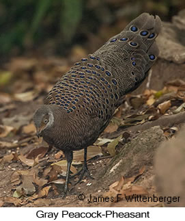 Gray Peacock-Pheasant - © James F Wittenberger and Exotic Birding Tours