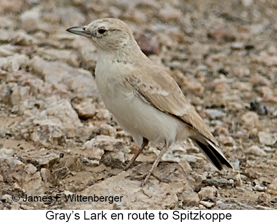 Gray's Lark - © James F Wittenberger and Exotic Birding LLC
