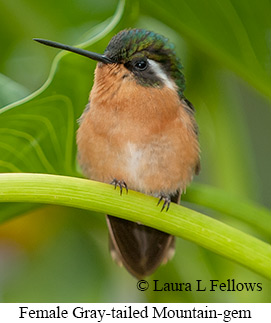 Gray-tailed Mountain-gem - © Laura L Fellows and Exotic Birding LLC