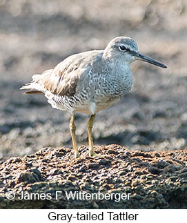 Gray-tailed Tattler - © James F Wittenberger and Exotic Birding Tours