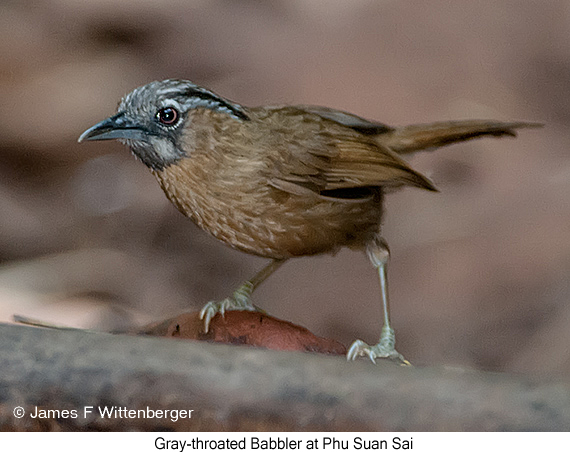 Gray-throated Babbler - © James F Wittenberger and Exotic Birding Tours