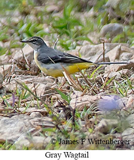 Gray Wagtail - © James F Wittenberger and Exotic Birding Tours
