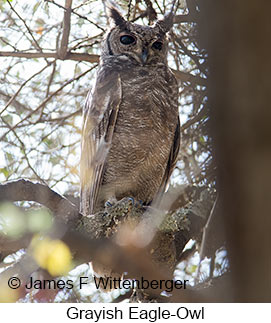 Grayish Eagle-Owl - © James F Wittenberger and Exotic Birding LLC