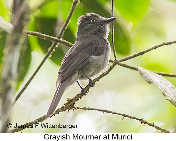 Grayish Mourner - © James F Wittenberger and Exotic Birding LLC