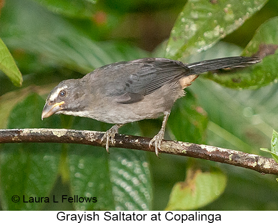 Grayish Saltator - © Laura L Fellows and Exotic Birding Tours