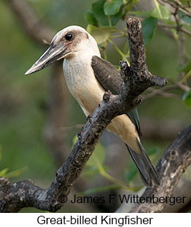 Great-billed Kingfisher - © James F Wittenberger and Exotic Birding Tours