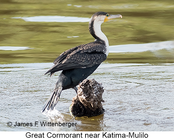 Great Cormorant - © James F Wittenberger and Exotic Birding LLC