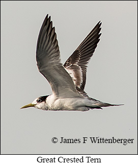 Great Crested Tern - © James F Wittenberger and Exotic Birding LLC