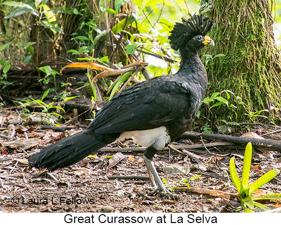 Great Curassow - © Laura L Fellows and Exotic Birding Tours