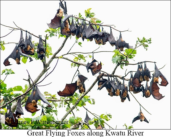 Great Flying Fox - © The Photographer and Exotic Birding LLC