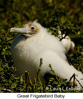 Great Frigatebird - © Laura L Fellows and Exotic Birding LLC