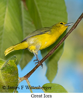 Great Iora - © James F Wittenberger and Exotic Birding Tours