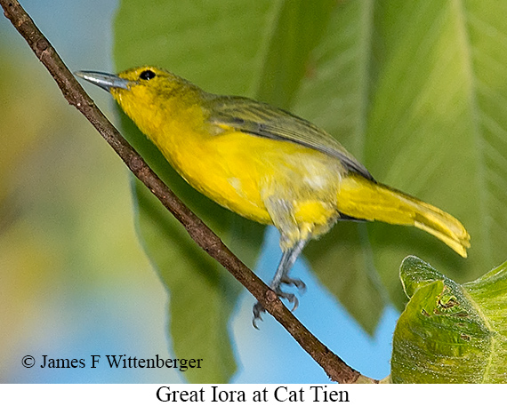 Great Iora - © James F Wittenberger and Exotic Birding LLC
