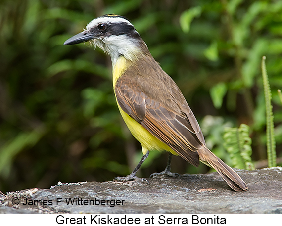 Great Kiskadee - © James F Wittenberger and Exotic Birding LLC
