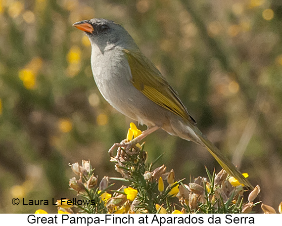 Great Pampa-Finch - © Laura L Fellows and Exotic Birding LLC