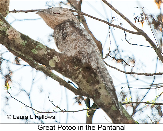 Great Potoo - © Laura L Fellows and Exotic Birding LLC