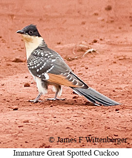 Great Spotted Cuckoo - © James F Wittenberger and Exotic Birding LLC
