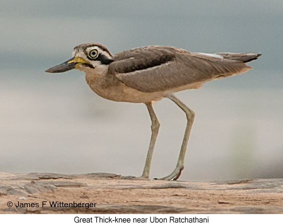 Great Thick-knee - © James F Wittenberger and Exotic Birding Tours