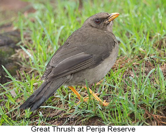 Great Thrush - © James F Wittenberger and Exotic Birding LLC