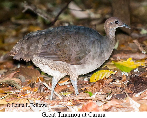 Great Tinamou - © Laura L Fellows and Exotic Birding Tours