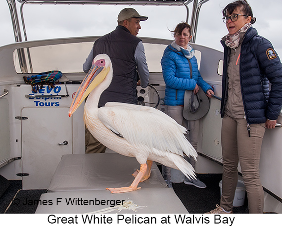 Great White Pelican - © The Photographer and Exotic Birding LLC