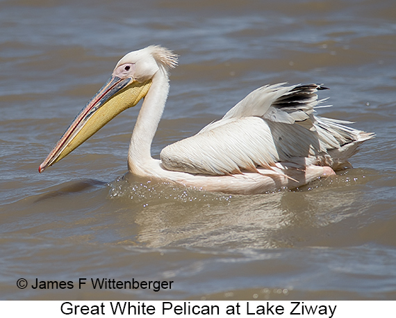 Great White Pelican - © James F Wittenberger and Exotic Birding LLC