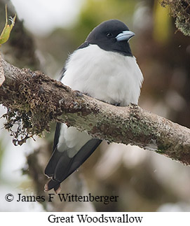 Great Woodswallow - © James F Wittenberger and Exotic Birding LLC