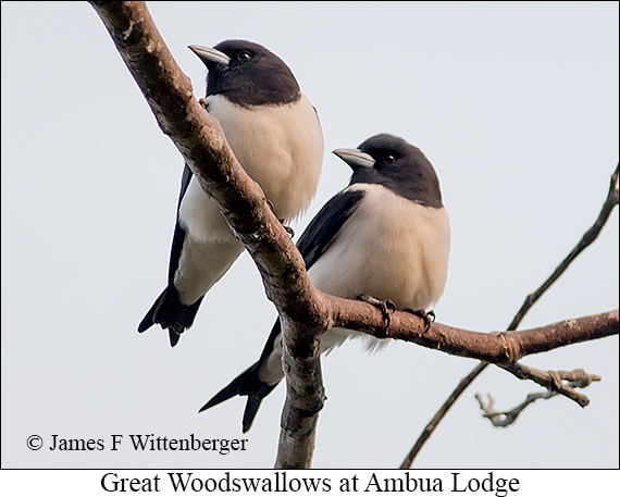 Great Woodswallow - © The Photographer and Exotic Birding LLC