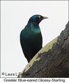 Greater Blue-eared Starling - © Laura L Fellows and Exotic Birding LLC