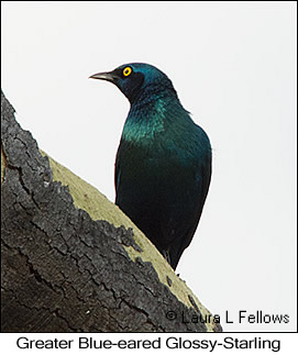 Greater Blue-eared Starling - © Laura L Fellows and Exotic Birding Tours