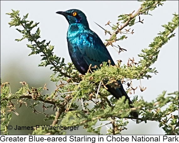 Greater Blue-eared Starling - © James F Wittenberger and Exotic Birding LLC